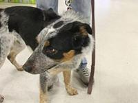 Mojo's story Mojo is a young Blue Heeler/ Border Collie
