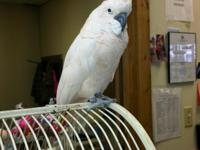 Moby is a approx. 13 year old female Mollucan Cockatoo.