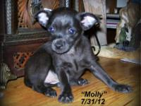 Molly~ is a black CKC registered chihuahua female.