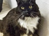 Molly Domestic Long Hair Female 11 years old  14 lbs.