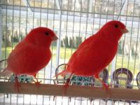 The quality of these beautiful red canary breeding