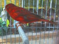 This is the most gorgeous red canary we have. He sings