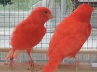 Just in time we have the daring red canaries. They are