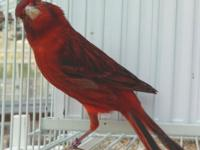 The Magical Red Bronze Canary is so beautiful and