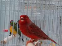This is the most brilliant Red Frosted Canary we have