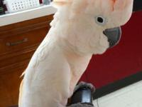 I have very inteligent MOLLLUCAN COCKATOO 20 MONTHS