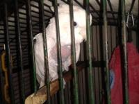 Posting for A Friend Moluccan cockatoo Plus Cage He's