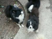I have a three beautiful female Pomeranians available.