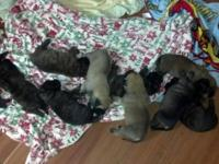 Stunning Mastador puppies for sale. Mastadors are an