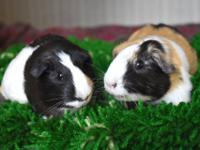 Mona and Echo are two young guinea pigs who were