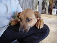 Sweet 6-9 month old female lab mix about 35 pounds. She