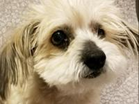 Monica is a female Maltese and Yorkie and maybe Lhasa