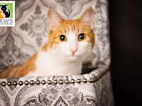 Monkey is a gorgeous white & orange tabby. She has a
