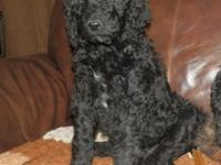 Monroe is a beautiful black male standard Poodle.