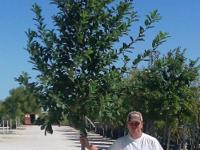 The Monterey Oak is a fast-growing, drought tolerant,