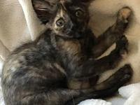 Moonbeam - Pre-Adoptable pending spay date Aug 9's