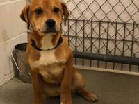 Moose (2145) is a 4 month old, neutered male, Boxer /