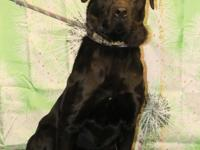 Moose is a 1 yr old neutered male lab mix that came to