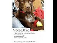 My story Moose is a 9-month-young Cattle Dog mix who is