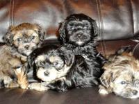 we have two male shorkie pups (registered as
