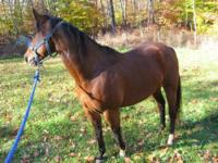 Morgan - Bella - Medium - Adult - Female - Horse Bella