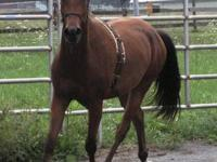 Morgan - Belle - Medium - Senior - Female - Horse BELLE
