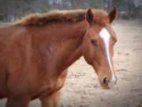 Morgan - Buster - Large - Adult - Male - Horse Buster