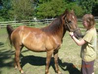 Description Registered 2 yr chestnut stallion with much