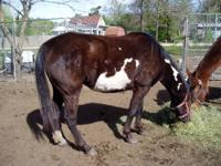 5yr. old beautiful Morgan / Quarter horse. She is a