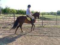 Morgan - Romeo - Medium - Adult - Male - Horse Romeo is