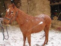 Morgan - Renegade - Medium - Adult - Male - Horse