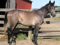 Morgan - Uhaul - Medium - Young - Male - Horse 4 yrs,