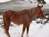 Morgan - Zoey - Medium - Young - Female - Horse Zoey is