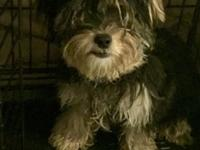 I have a female Maltese Yorkie mix puppy. She's is 6