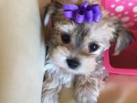 We have adorable tiny first generation yorkie puppies.