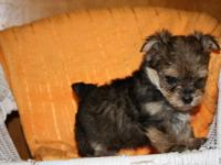 Beautiful litter of morkie babies. We have a black and