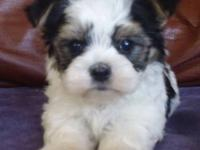 Beautiful Morkie male puppy the last one left! And we