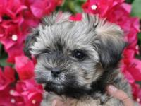 PRICE REDUCTION !!!! I have an adorable teacup Morkie