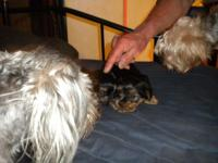 I have a very adorable and loving female Morkie she was