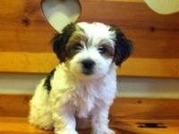 This little Morkie young puppy is waiting to join his