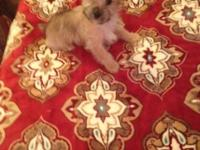 Cute little male Morkie current on shots and deworming
