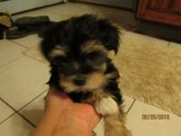 Morkies, 8 weeks old,Vet. checked, 1st shots, wormed,