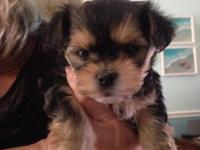 Adorable tiny Morkie boy . Black and Tan . Dews removed