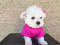 Maltese/Yorkie Mix She is so amazing, smart sweet, pee