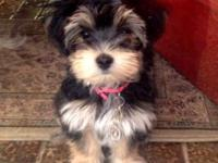 Adorable Morkie puppies Available for sale Taking Down