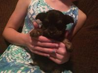 Morkie Black and Tan female,all shots,teddy bear