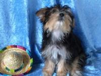 Nice little Morkie boy ready to be part of your family.