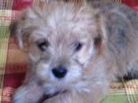 Morkie boy, cute little puppy, ready to go June 2, up