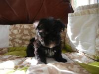BEAUTIFUL SMALL MORKIE FEMALE, BLACK WITH A LITTLE