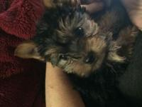 Morkie female,vet checked,home raised 9 weeks old This
